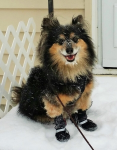 dog wearing boots in snow