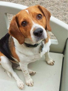 Beauregard, Wagging Tails Pet Resort's  the July Tail Wagger of the Month