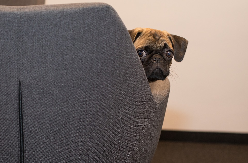 Pug peeking out from behind a chair