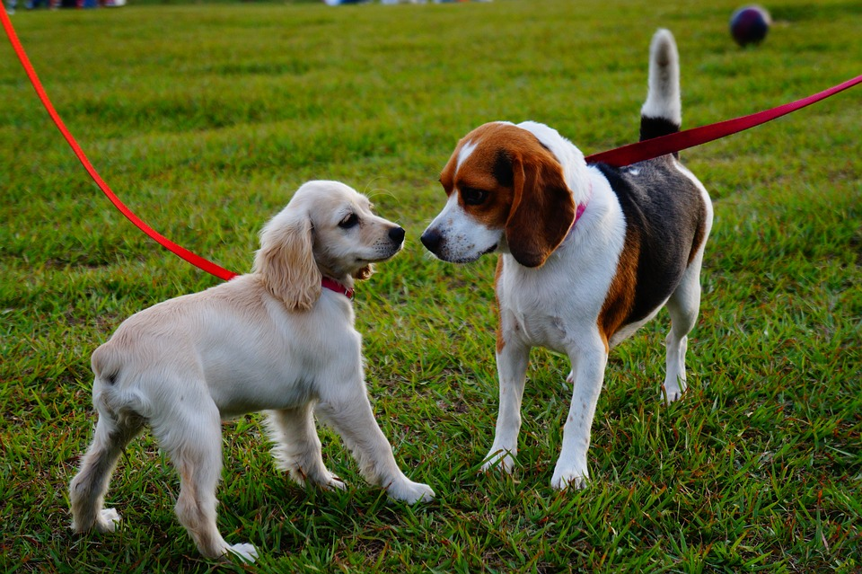 dogs greeting each other on leashes