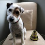 dog with birthday hat