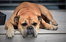 Your Dog's Health: Cataracts